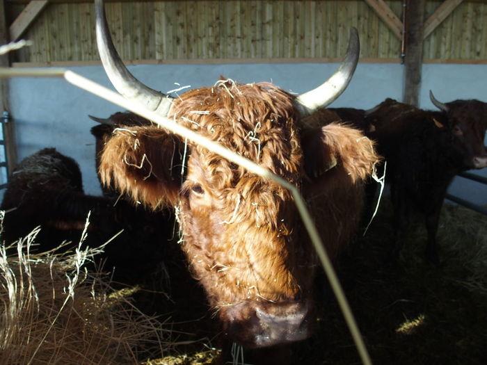 Close-up of cow at barn