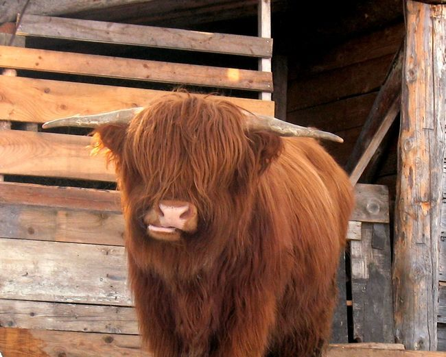Animal Hair Animal Head  Animal Themes Brown Close-up Cow Cow Portrait Cows Domestic Animals Focus On Foreground Hairy Cow Herbivorous Livestock Long Hair Mammal Perplexity Portrait Portraits Posing For The Camera Rural Scene Scottish Cow Wood - Material Wooden Color Palette Color Palette Pet Portraits