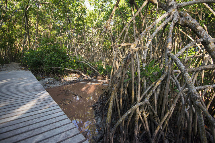 mangrove trees Beauty In Nature Brown Day Forest Green Color Mangrove Nature No People Outdoors Path Plant Sun Light Sun Through The Trees Tree Tropical Walking Path