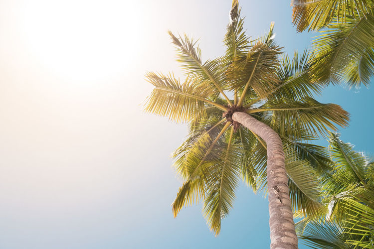 Palm Tree Tree Sky Tropical Climate Low Angle View Plant Growth Beauty In Nature Tranquility Nature Leaf No People Tropical Tree Coconut Palm Tree Clear Sky Day Palm Leaf Scenics - Nature Outdoors Tranquil Scene Directly Below Copy Space Beach Beach Holiday Vacations