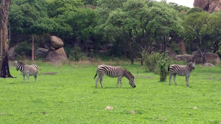 Animals In The Wild Boulders Grass Lion And Cheetah Park Nature No People Savannah The Purist (no Edit, No Filter) Zebra Zebra Crossing