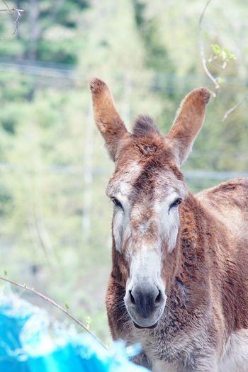 Mammoth Donkey Donkey Mammoth Donkey Mammals Animal Nature Farm