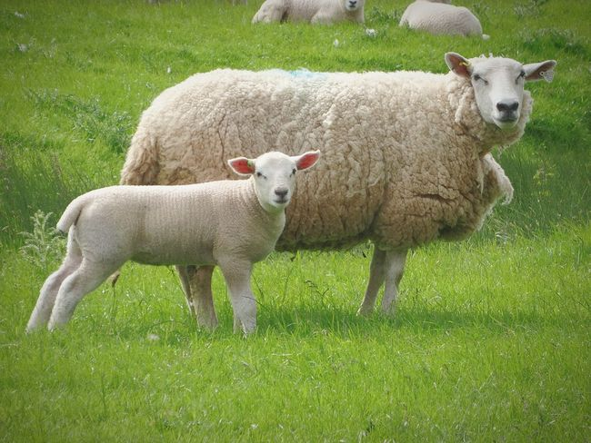 Sheep with lamb Sheep Farm Life Farmanimals Animals Wildlife Farming Lamb Countryside Nature
