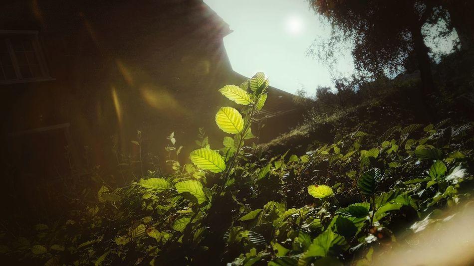 Glowing Leaf in Herbstzeit Abendsonne, Gegenlicht Shining Durch Die Brille/ Through Glasses Through Sunglasses Leuchtet Leuchten