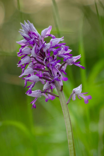 Knabenkraut Orchidées Wildlife & Nature Animal Themes Beauty In Nature Blooming Close-up Day Flower Flower Head Fragility Freshness Growth Nature No People Outdoors Petal Plant Purple