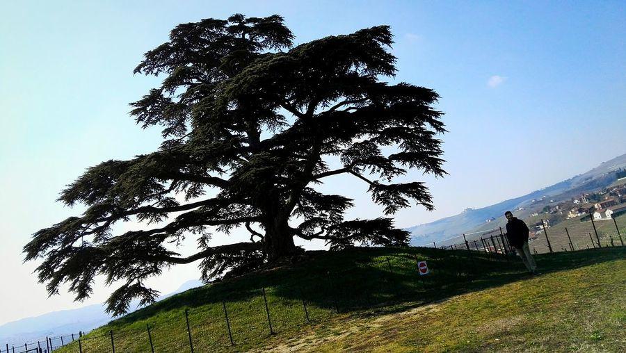 Lebanese cedar Lebanese Cedars Lebanese_nature Cedar La Morra Piemonte Cuneo Italy Italia Nature Tree Mountain Sky Grass