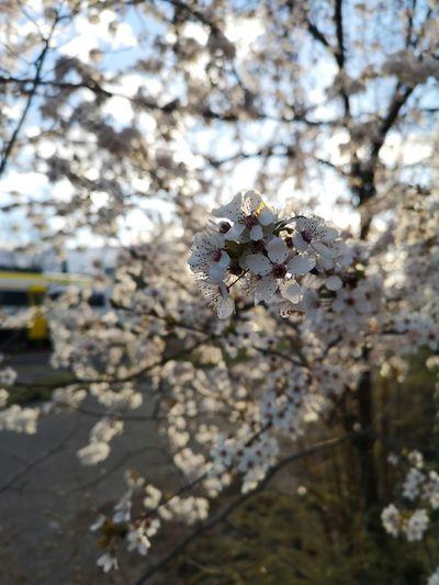 Tree Flower Branch Close-up Sky
