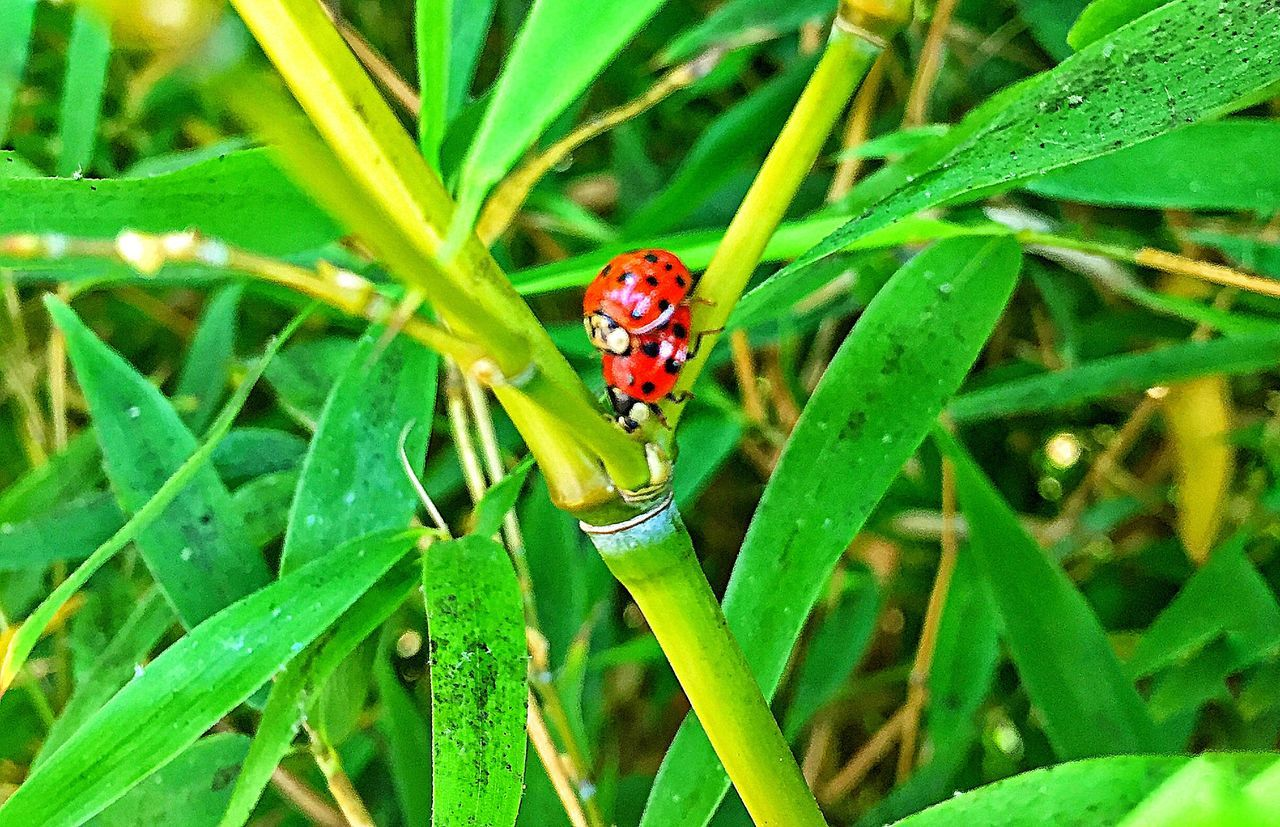 insect, one animal, animals in the wild, green color, animal themes, red, ladybug, plant, close-up, leaf, nature, outdoors, day, no people, grass, tiny