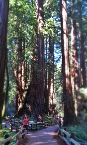 Tree Porn Somewhere In Redwood Into The Woods