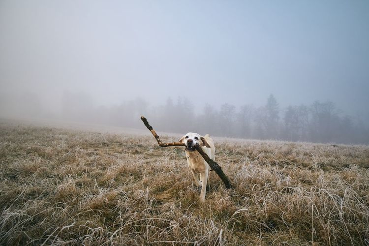 Dog carrying branch on field