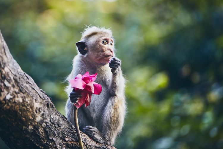Cute monkey sitting on branch and eating flower. Monkey Ape Nature Wildlife Wild Sri Lanka Mammal Primate Animal Wildlife No People Looking Cute Forest Curiosity Portrait Close-up Flower Hungry Holding Funny Cheerful Satisfaction Expression Branch One Animal