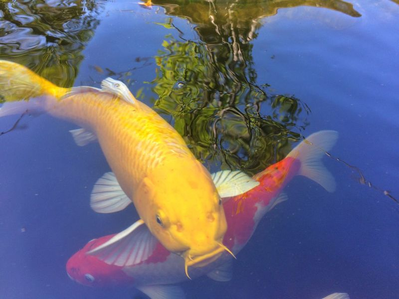 fancy carp fish in pool Green Tree Sky Mirror Water Mirror Reflection Blue Life Colorful Colors Color Animal Fancy Carp Fish Fancy Carp Carp Fish Outdoors Nature Carp Day Pool Fish Water Gold Gold Colored Golden Yellow