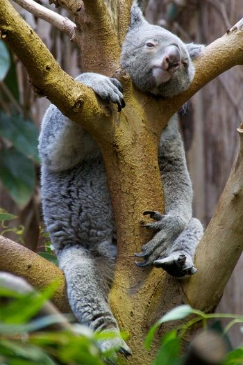 Low angle view of koala resting on tree at zoo