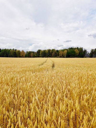 Agriculture Field Sky Crop  Nature Cereal Plant Farm Growth Rural Scene Cloud - Sky Landscape Beauty In Nature Tranquility No People Day Tranquil Scene Tree Scenics Outdoors Ear Of Wheat Gold