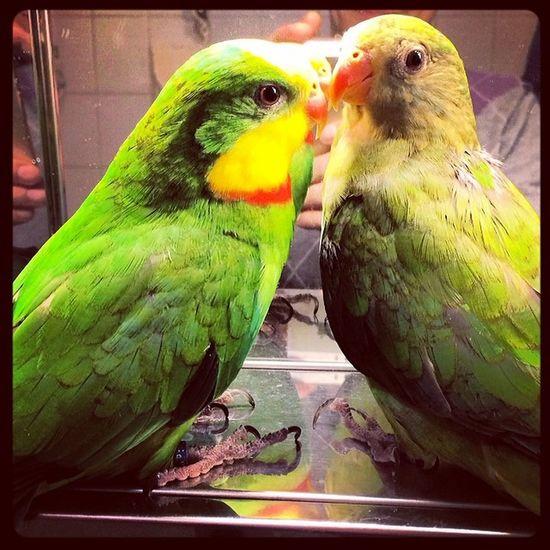 Happy Valentine. Valentin_day Valentin Schildsittich Superb_parrots Frankfurt Schildsittiche Parrot Parrots Parrot Lover Parrot Love