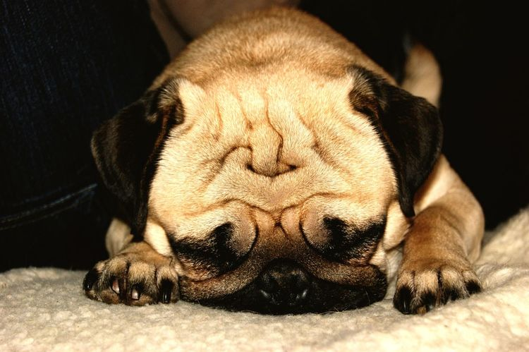 One Animal Animal Themes Sleeping Relaxation Mammal Eyes Closed  Pets Domestic Animals Lying Down Dog Resting Close-up No People Indoors  Day Cute Pug Pug Life  Pug