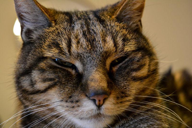 Cat Cat Head Cats Cute Cat Domestic Animals Domestic Cat Sleepy Cat Tiger Cat