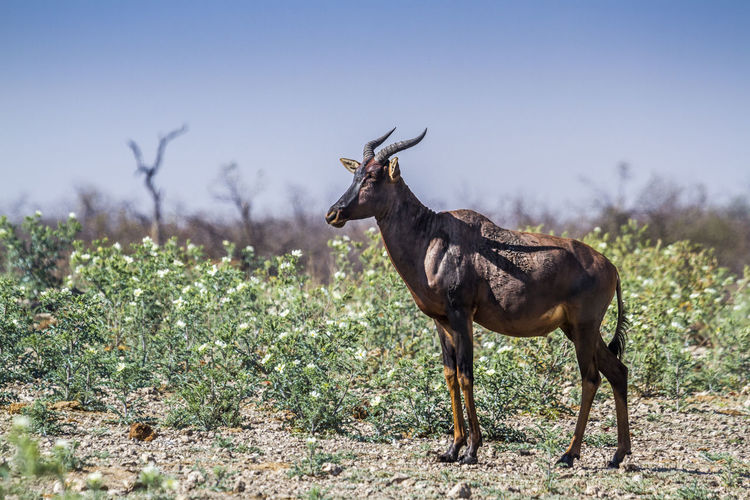 Side view of antelope standing on land against clear sky
