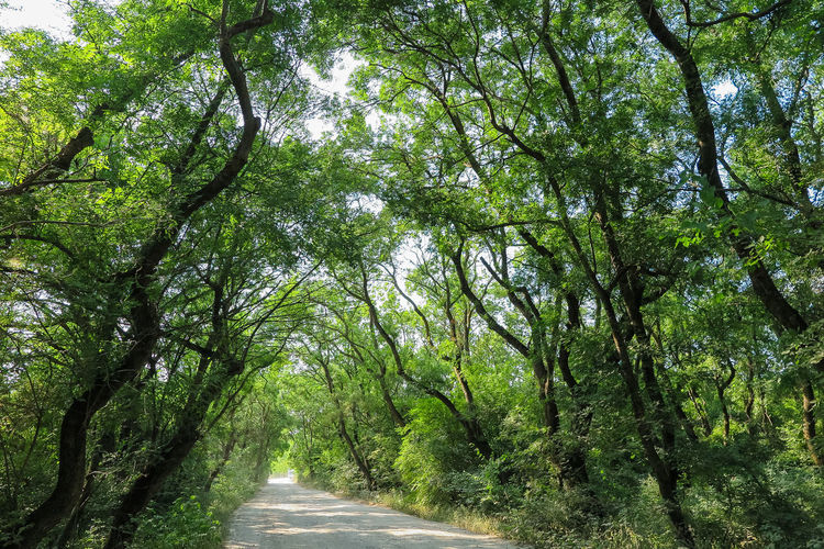 thick overgrown trees over the road Tree Plant Direction The Way Forward Green Color Road Growth Diminishing Perspective Beauty In Nature Nature Forest Day Tranquility Transportation No People Land Tree Trunk Trunk vanishing point Tranquil Scene Outdoors Treelined WoodLand Tree Canopy