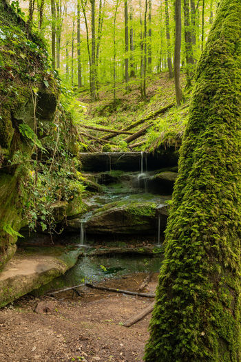 Stream amidst trees in forest