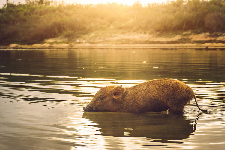 feels like Sommer! Animals In The Wild Cuba Day Enjoying Life Enjoying The Sun Eye4photography  Sommergefühle EyeEm Nature Lover Lake Lensflare Light And Shadow Nature Nature Nature_collection No People One Animal Outdoors Piglet Reflection Side View Sunset Swimming The Photojournalist - 2017 EyeEm Awards Water Pet Portraits