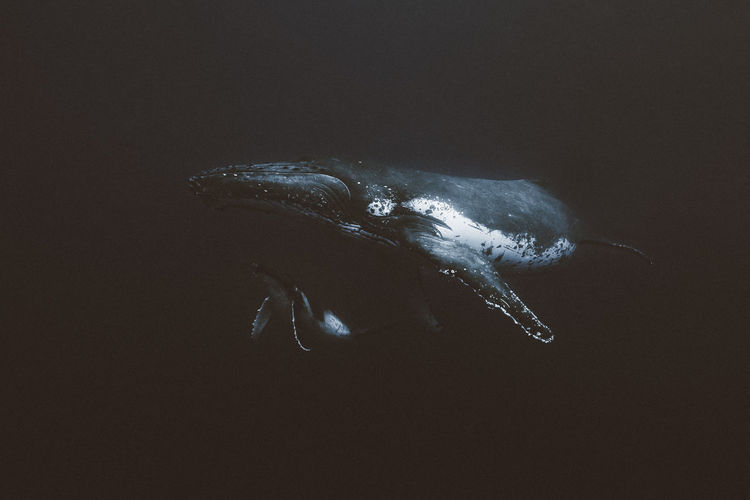 Whale against black background
