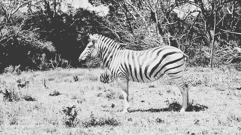 Animals In The Wild Animal Themes Animal Wildlife Day Outdoors Nature Mammal No People Zebra One Animal Tree