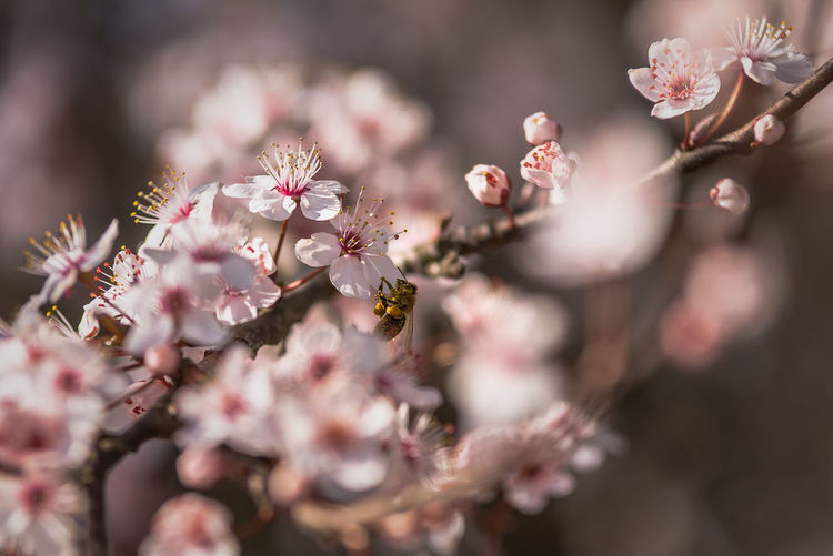 Bokehlicious Beauty In Nature Bee Blossom Bokeh Photography Flower Flower Head Fragility Freshness Growth Nature No People Outdoors Petal Spring Flowers Spring Is Coming  Springtime Tree Springtime Decadence