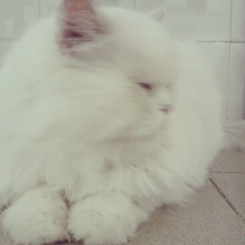 Cat Simbad Cute Beaty istacat