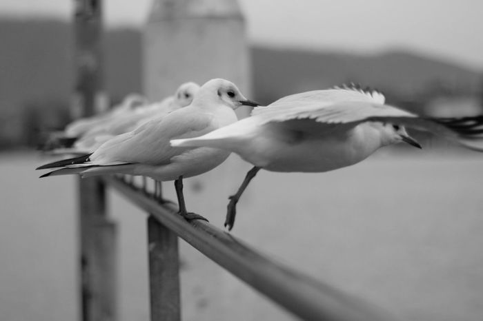 Animal Themes Animal Wildlife Animals In The Wild Beak Bird Black & White Black And White Black-headed Gull Blackandwhite Close-up Day Focus On Foreground Full Length Möwe Möwen Möwen Portrait Nature No People Outdoors Perching First Eyeem Photo EyeEmNewHere