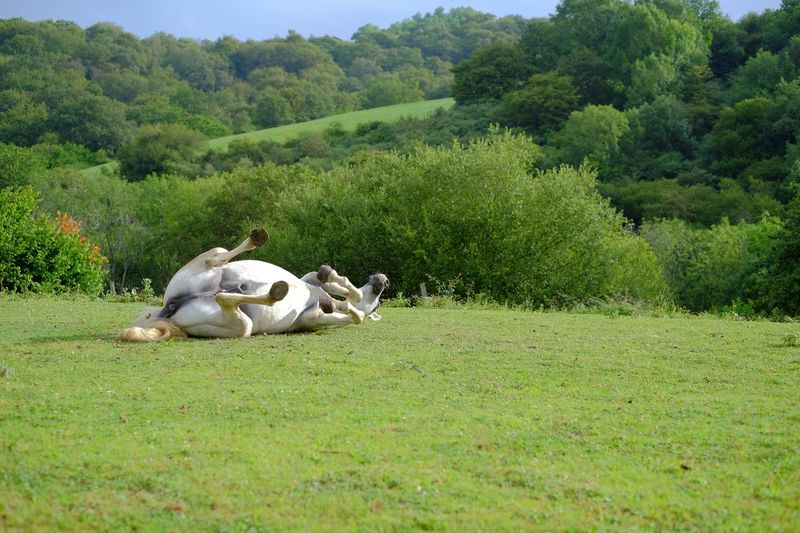 Horse lying down on grass landscape