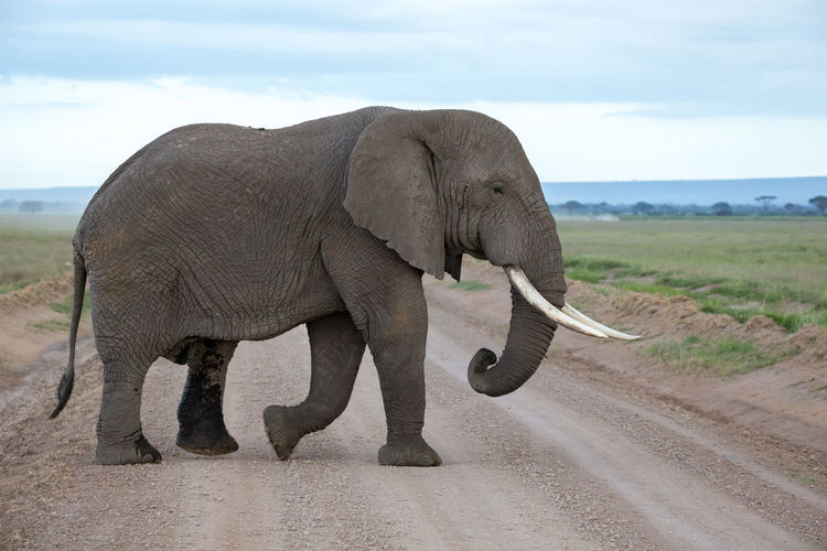 Side view of elephant walking on land