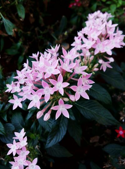 Flower Pink Color Beauty In Nature Outdoors Freshness Leaf Close-up