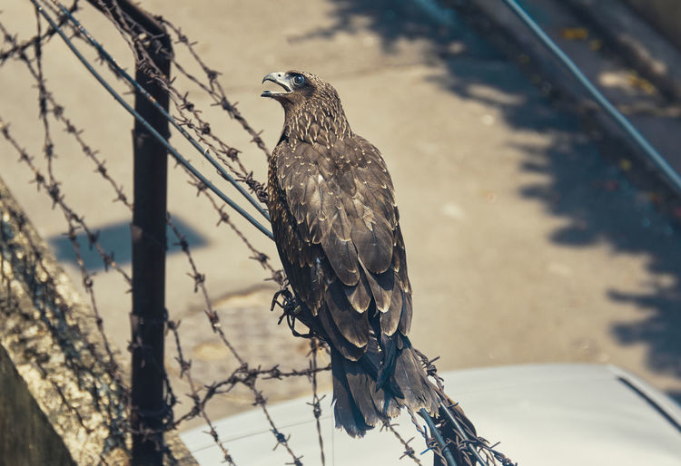 An indian black kite bird, sitting on barbed wires.
