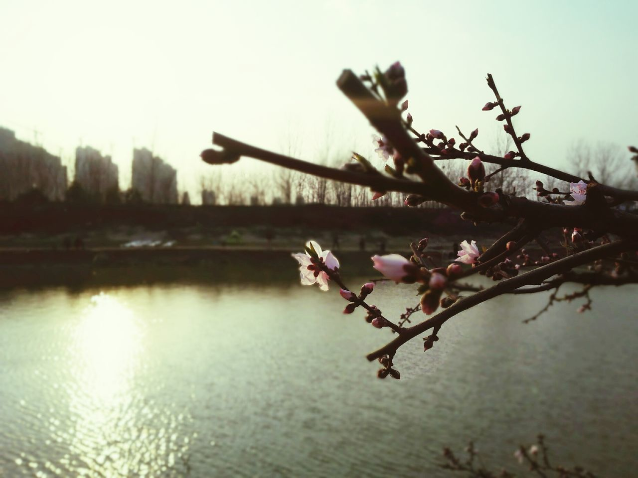 beauty in nature, nature, flower, growth, fragility, water, no people, tranquility, lake, outdoors, tree, blossom, freshness, plant, day, branch, sky, springtime, scenics, close-up, flower head