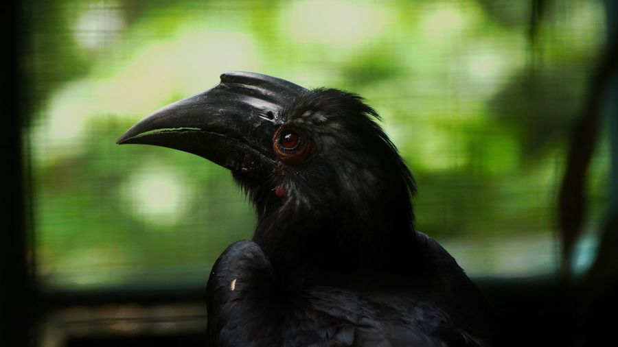 Bird Black Color Animal Themes One Animal Focus On Foreground Beak Animals In The Wild No People Day Close-up Outdoors Nature Raven - Bird Perching Hornbill Black Hornbill