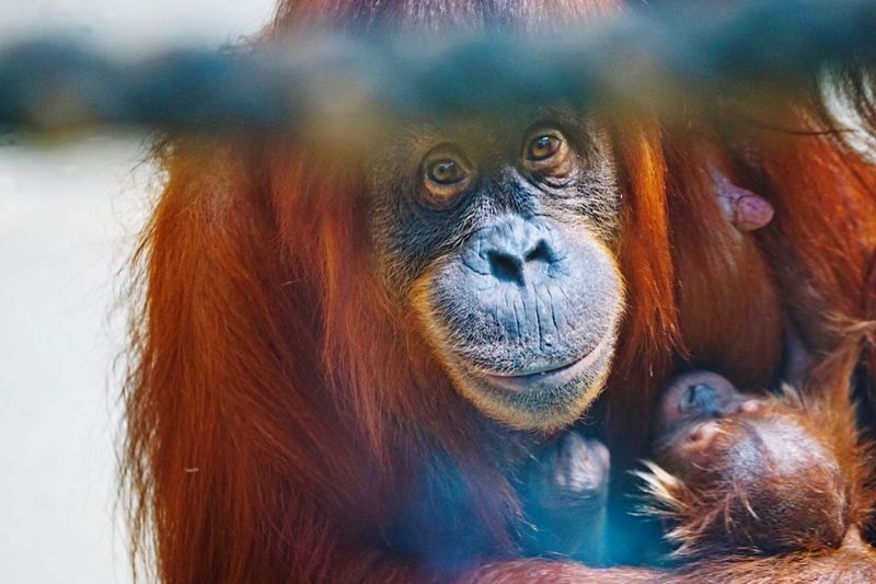 Close-up portrait of orangutan with infant sitting outdoors