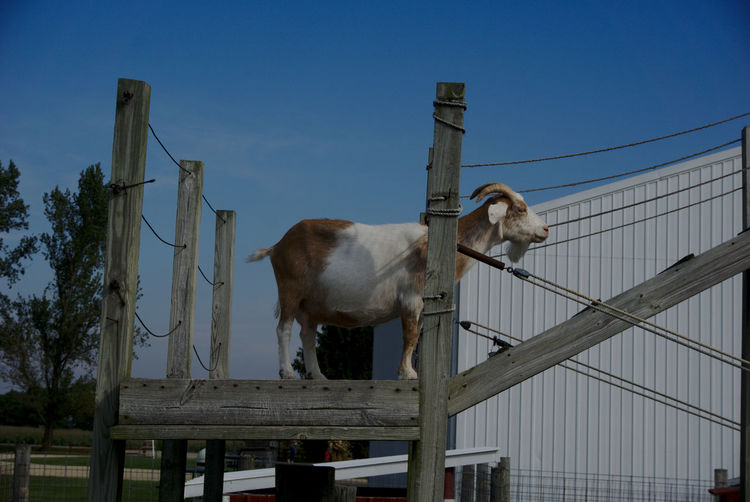 To climb or not to climb Animal Themes Day Domestic Animals Fence Goat Goat Life Livestock Low Angle View Mammal No People One Animal Outdoors