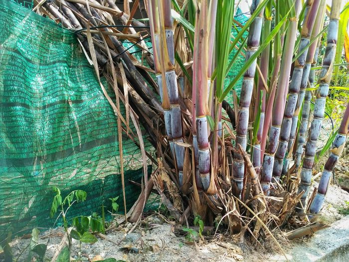 sugar cane tree Green Color Growth Plant Day No People Nature Outdoors Tree Land Plant Part Leaf
