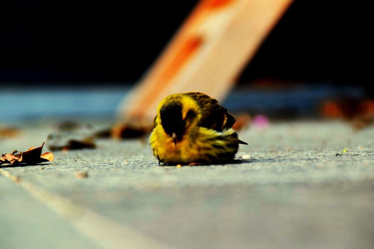 Open Edit Animals Birds Bird Photography Birds_collection Birds Of EyeEm  Yellow Beautiful Colors Close Up Nature Exposure No People Stone Outside In The Moment Edited with Picmonkey