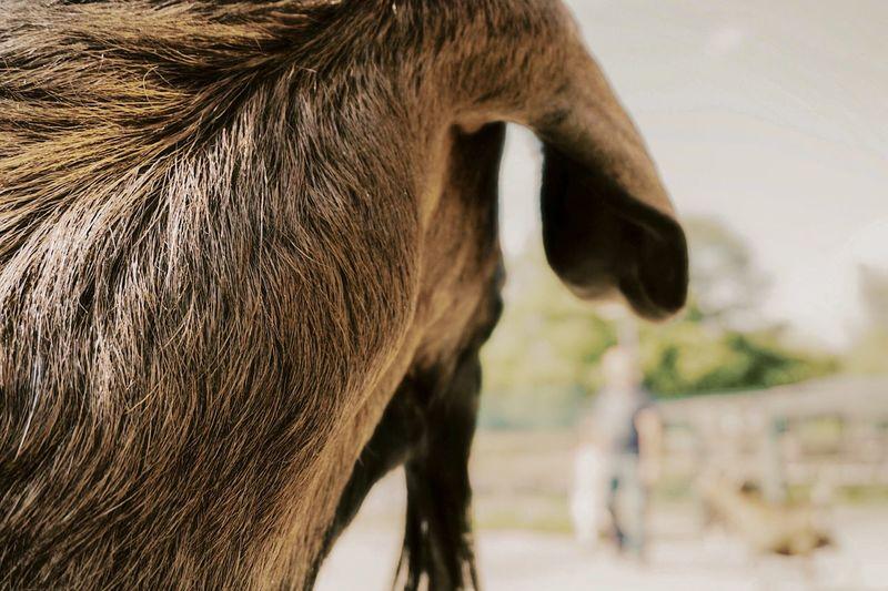 Goat Animal Themes Animal One Animal Mammal Animal Wildlife Animal Body Part Domestic Animals Focus On Foreground Domestic Close-up Brown Animals In The Wild Livestock Animal Head