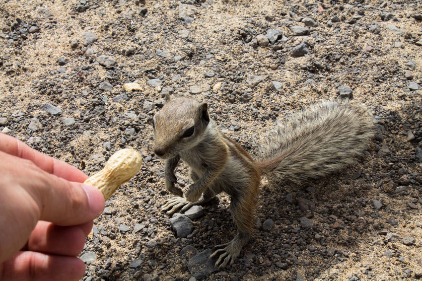 Alimentacion Animal Themes Animales Animals Animals In The Wild Ardilla Atlashörnchen Canary Islands Feed  Feeding  Feeding Animals Food Fuerteventura Futter Holding Human Hand Hörnchen Leisure Activity Nature One Animal Outdoors Personal Perspective Squirrel Tiere Young Animal