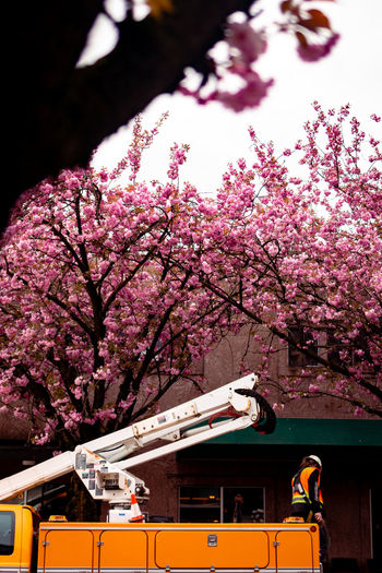 Plant Tree Flower Flowering Plant Nature Growth Blossom Pink Color Branch Fragility Springtime Freshness Mode Of Transportation Day Cherry Blossom Architecture Land Vehicle Built Structure Transportation Cherry Tree Outdoors