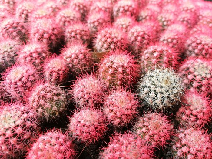 Full frame shot of pink cacti