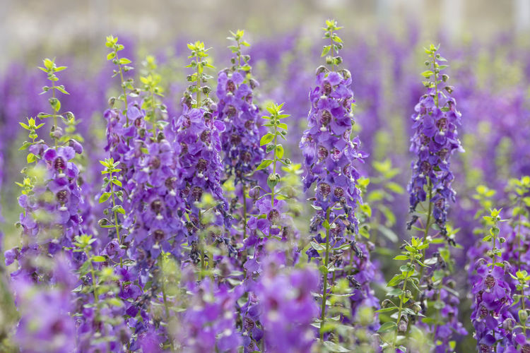 Flowering Plant Flower Plant Vulnerability  Fragility Purple Beauty In Nature Growth Selective Focus Freshness Close-up Lavender No People Nature Field Day Land Petal Lavender Colored Outdoors Flower Head