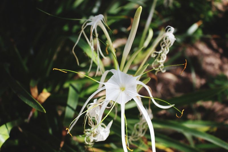 Close-up of fresh white hymenocallis littoralis blooming in garden