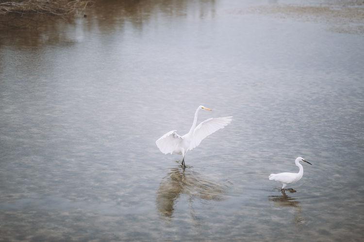 Cranes On Lake