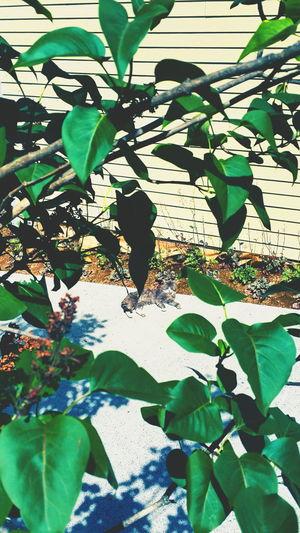 Chillin like a villain Eyem Best Shot Eyemcaptured EyeEmPaid Takeitallin Columbia River Gorge Abundance Fresh On Market June 2016 PNW Washington State Capture The Moment This Week On Eyeem Eye4photography  Northwestliving EyeEm Best Shots - Landscape OpenEdit Cat Furry Friends Carsonhotsprings Walking Around Summertime EyeEm Masterclass Original Experiences Mean Muggin Leafs Abstract Nature