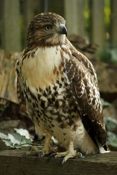 Bird Of Prey Bird Perching Portrait Full Length Close-up Hawk - Bird Feather  Beak