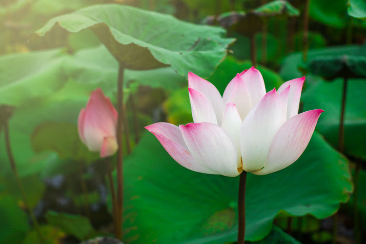 Close-up of pink water lily blooming outdoors